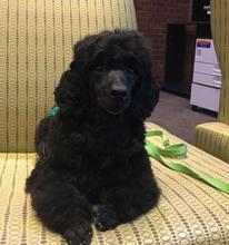 Gideon the miniature poodle