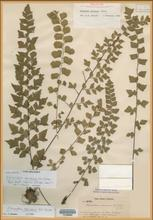 image from Yale Herbarium